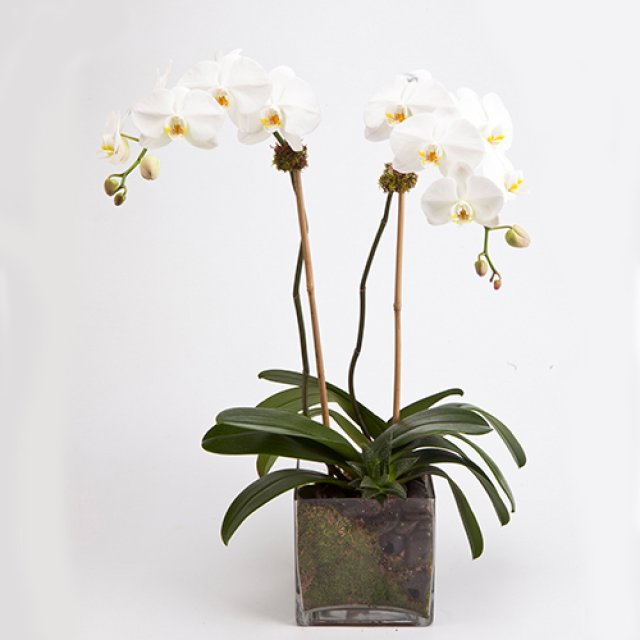 double white orchid plant same day new york delivery available